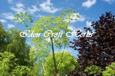 ANGELICA Angelica archangelica SEEDS - Click Image to Close