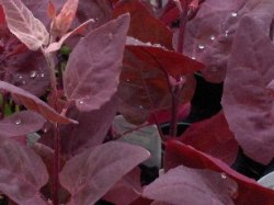ORACH, RED Atriplex hortensis rubra SEEDS