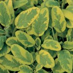 SAGE, GOLDEN VARIGATED Salvia officinalis 'Icterina'