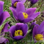 PASQUE FLOWER Pulsatilla vulgaris SEEDS