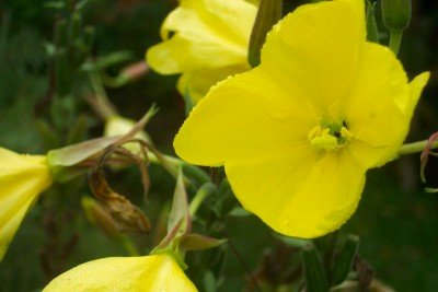 EVENING PRIMROSE Oenothera biennis SEEDS - Click Image to Close
