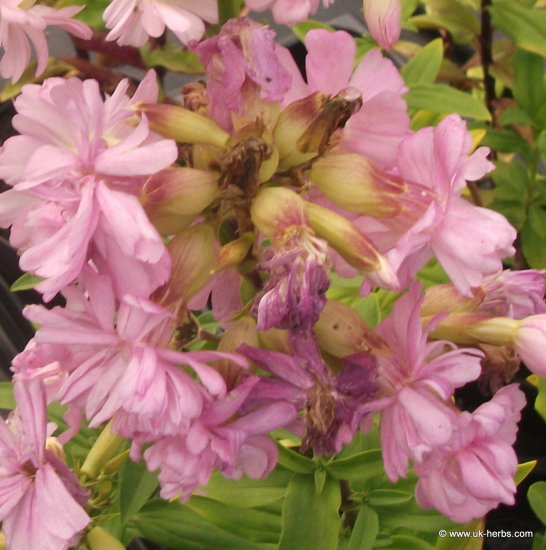 SOAPWORT Saponaria officinalis SEEDS - Click Image to Close