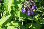 COMFREY, COMMON Symphytum officinale