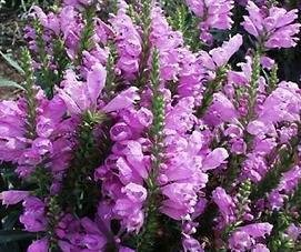 OBEDIENT PLANT, ROSE Physostegia virginiana seeds - Click Image to Close