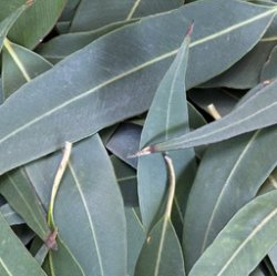 EUCALYPTUS, LEMON Eucalyptus citriodora SEEDS