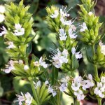HYSSOP, WHITE Hyssopus officinalis albus SEEDS