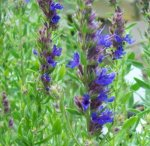 HYSSOP, BLUE Hyssopus officinalis SEEDS