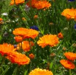 MARIGOLD, ENGLISH Calendula officinalis