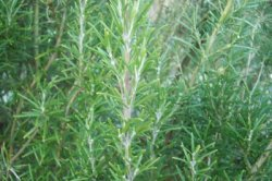 ROSEMARY Rosmarinus officinalis SEEDS