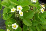 STRAWBERRY, ALPINE Fragaria vesca