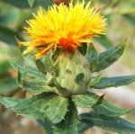 SAFFLOWER Carthamus tinctoria SEEDS