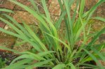 LEMON GRASS Cymbopogon flexuosus SEEDS