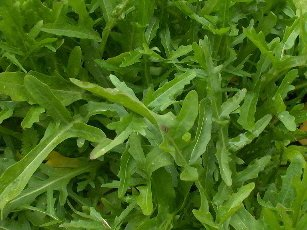 ROCKET, WILD Diplotaxis tenuifolia SEEDS - Click Image to Close