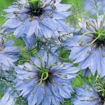 LOVE IN A MIST Nigella damascena SEEDS