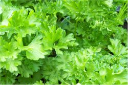 PARSLEY, MOSS CURLED Petroselinum crispum