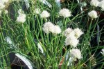 CHIVES, WHITE Allium schoenoprasm - white form
