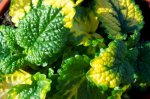 LEMON BALM, VARIEGATED Melissa officinalis 'Aurea'