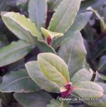 BAY, SWEET Laurus nobilis