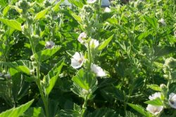 MARSH MALLOW Althaea officinalis SEEDS