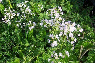 CUCKOO FLOWER Cardamine pratensis SEEDS - Click Image to Close