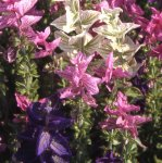 SAGE, PAINTED Salvia horminum