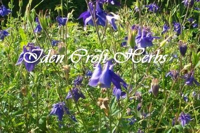 COLUMBINE, ALPINE Aquilegia alpina SEEDS - Click Image to Close