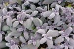 SAGE, PURPLE Salvia officinalis purpurea