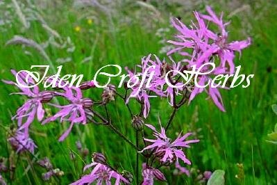 RAGGED ROBIN Lychnis flos-cuculi - Click Image to Close
