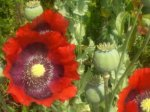 POPPY, OPIUM MIXED Papaver somniforum SEEDS