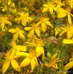 ST JOHNS WORT Hypericum perforatum SEEDS