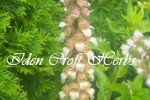 FOXGLOVE, WOOLLY Digitalis lanata SEEDS