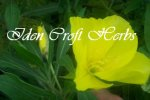 EVENING PRIMROSE, DWARF Oenothera missouriensis SEEDS