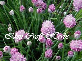 CHIVES Allium schoenoprasum - Click Image to Close