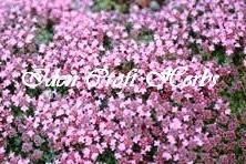 THYME, PINK CHINTZ Thymus serpyllum 'Pink Chintz' - Click Image to Close