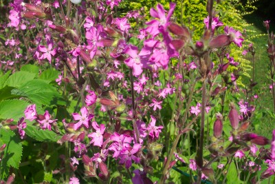 BELLFLOWER, SPOTTED Campanula punctata rubra seeds - Click Image to Close