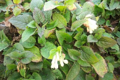 COMFREY, CREEPING Symphytum grandiflorum - Click Image to Close