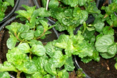 MINT, CURLY SPEARMINT Mentha spicata crispa - Click Image to Close