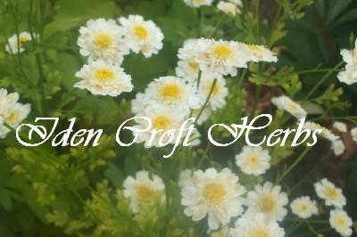 FEVERFEW, DOUBLE Tanecetum parthenium 'double white' SEEDS - Click Image to Close