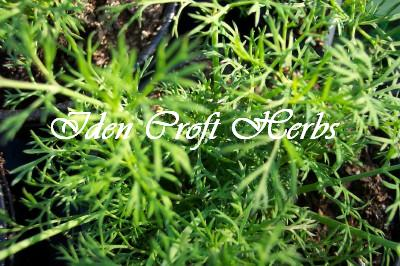 DILL Anethum graveolens SEEDS - Click Image to Close