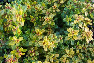 THYME, GOLDEN Thymus vulgaris 'Aureus' - Click Image to Close