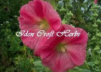 HOLLYHOCK, PINK SHADES Althaea rosea seeds