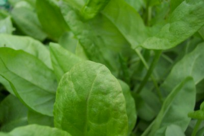 SORREL, LARGE LEAF Rumex acetosa SEEDS - Click Image to Close