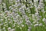 LAVENDER, MUNSTEAD DWARF L.angustifolia SEEDS - Click Image to Close