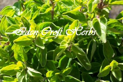 OREGANO Origanum vulgare SEEDS - Click Image to Close