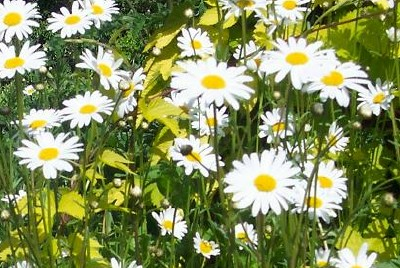 OXEYE DAISY Leucanthemum vulgare - Click Image to Close