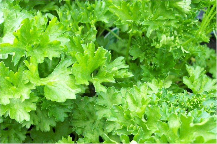 PARSLEY, MOSS CURLED Petroselinum crispum - Click Image to Close
