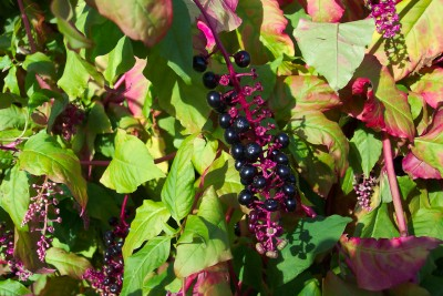 POKEROOT Phytolacca americana SEEDS - Click Image to Close