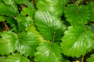 STRAWBERRY OF VERSAILLES, Fragaria monophylla - Click Image to Close