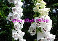 FOXGLOVE, WHITE Digitalis pupurea alba seeds