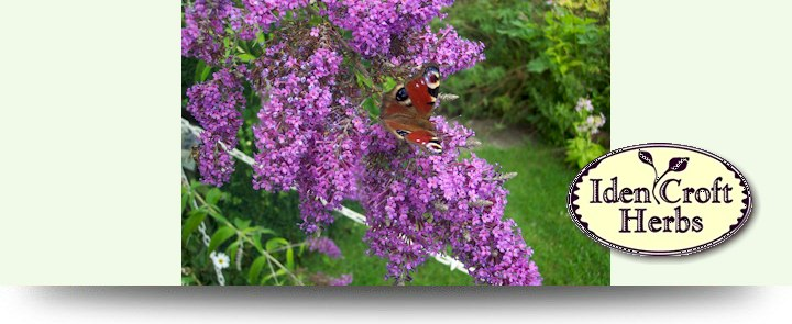 Iden Croft Herbs, A great range of herb plants and seeds available